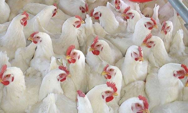 environment-chicken-dosed-by-high-antibiotics