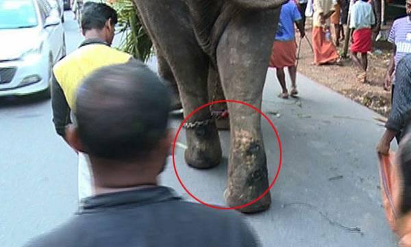Elephant abuse,  Kochi