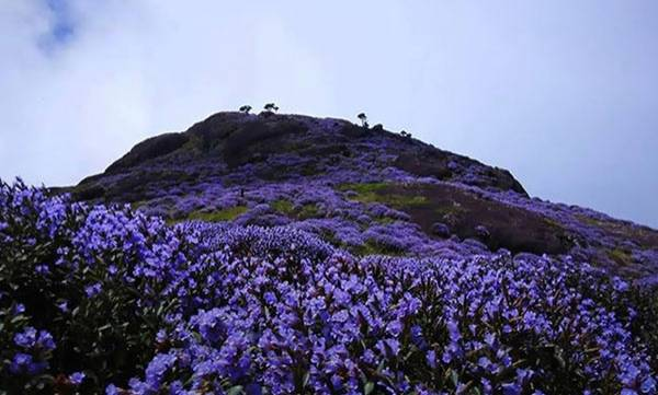 Neelakurinji Blooming season