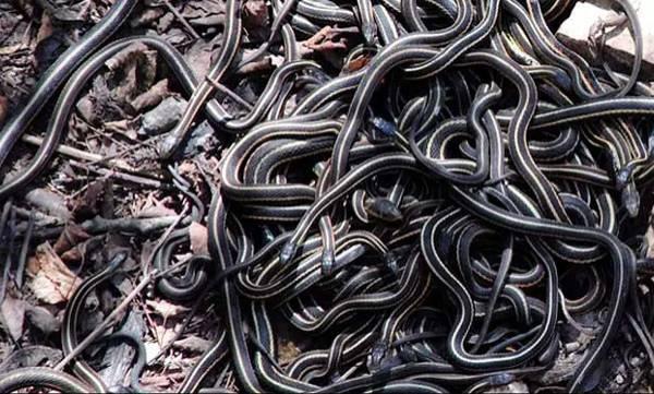 Baby Cobra, Labourer's House, Odisha