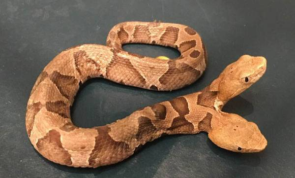 rare double head snake, found, virginia