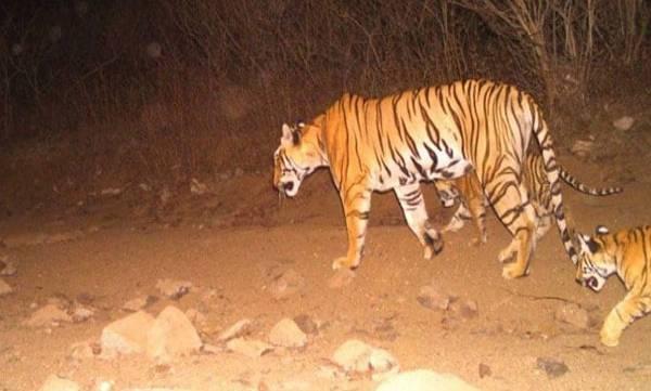 Tigress Avni, Shot Dead, Maharashtra