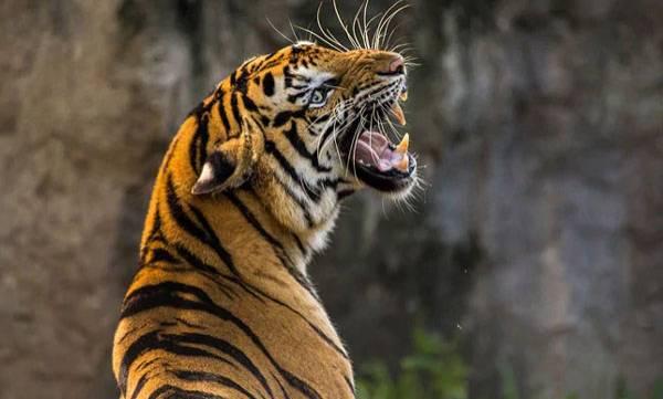 Tigress death