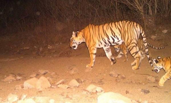Orphaned Cubs, Tigress Avni