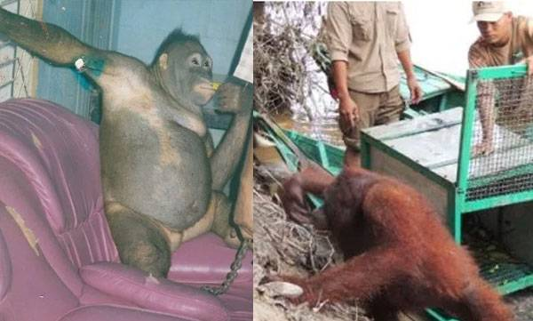 environment-orangutan-was-shaved-made-to-wear-jewellery
