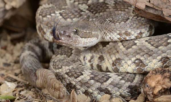 Rattlesnakes video