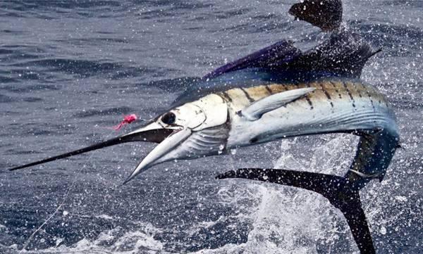 uploads/news/2019/01/279911/sailfish.jpg