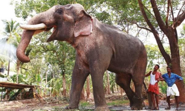 elephant ran amok