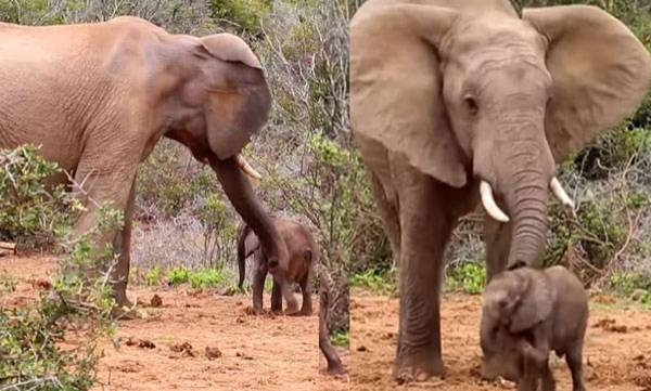 Bad-tempered Elephant, Baby , Massive Trunk