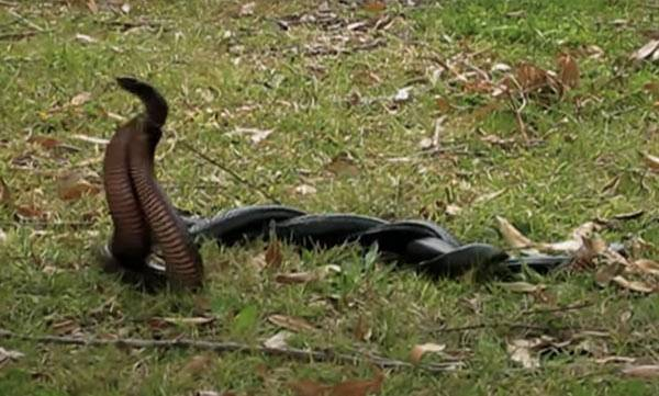 snake conflict