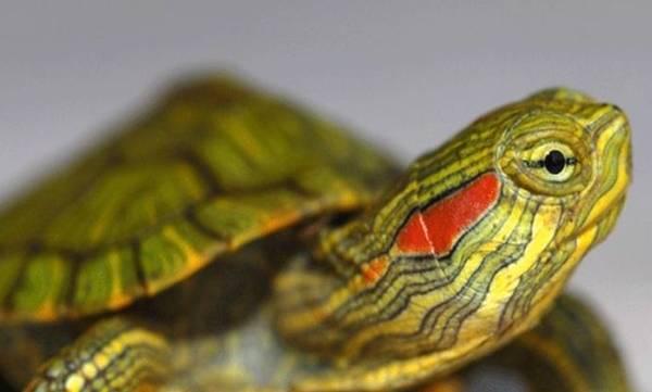 Turtle,Indians