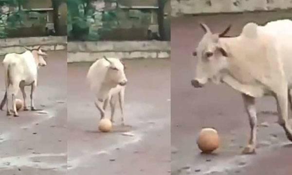 cow's football play