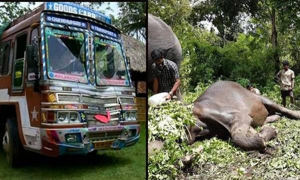 Truck hits,  Wild elephant died