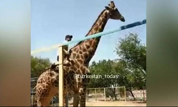 Drunk Man,  Giraffe  Ride