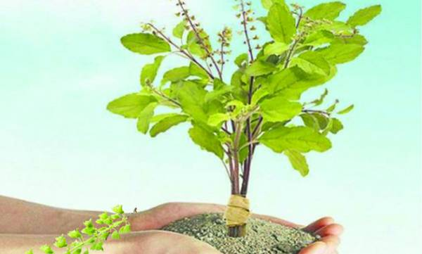 news-tulasi-plant-pooja-at-home